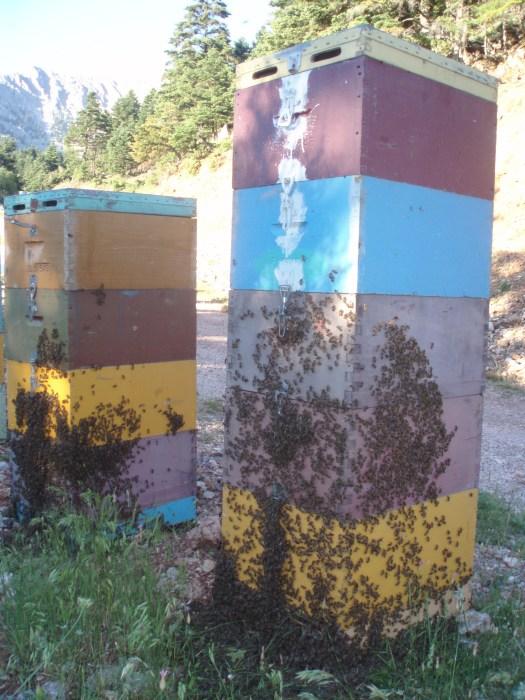 Ενωμένα μελίσσια σε μελιτοφορία ελάτου!