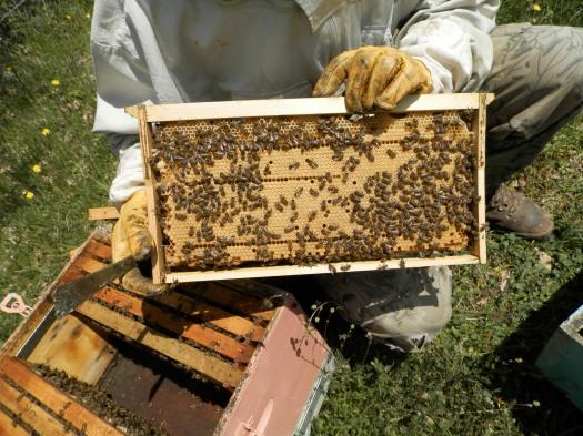 Συμπαγής γόνος υγιούς μελισσιού!