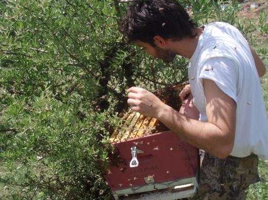 Διαδικασία μετάγγισης αφεσμού από την αγριοαχλαδιά σε κυψέλη.