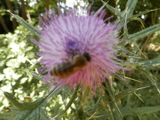 Εργάτρια μέλισσα συλλέγει νέκταρ από αγριάγκαθο.