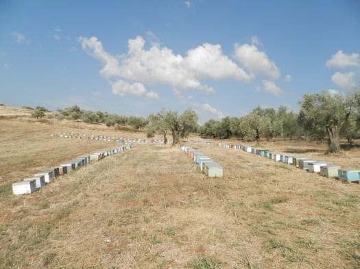 Τα μελίσσια μας στη Β,Εύβοια για συλλογή μελιού από πεύκα (2013) !