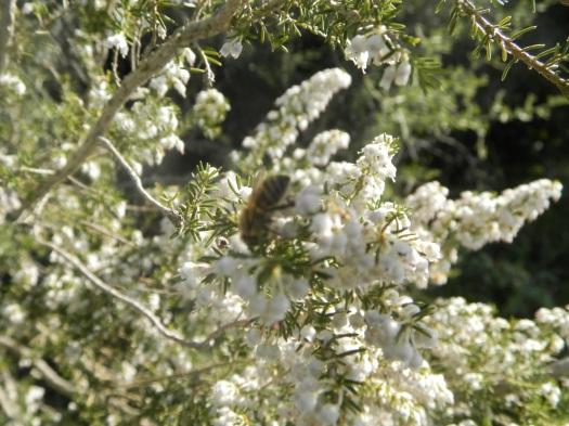 Εργάτρια μέλισσα συλλέγει μέλι από ανοιξιάτικο ρείκι (ασπρόρεικο)!